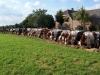 11. Koeien op een rij